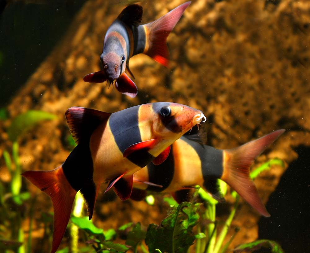 Welcome to Fish Fans com Freshwater Aquarium Clown Loach     Fish Fans