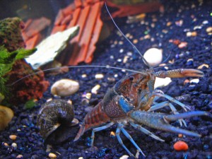Freshwater Crawfish